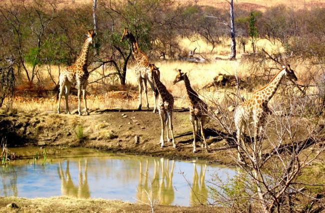 Giraffe South Africa safari